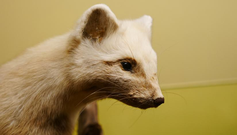 "Exhibition ""Mammals of Latvia"""
