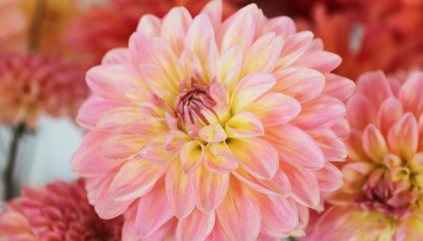 "Exhibition ""Dahlias 2020"""