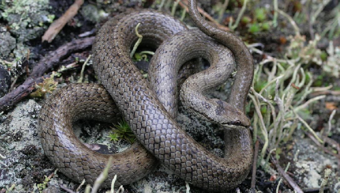 Animal of the year 2012 the smooth snake
