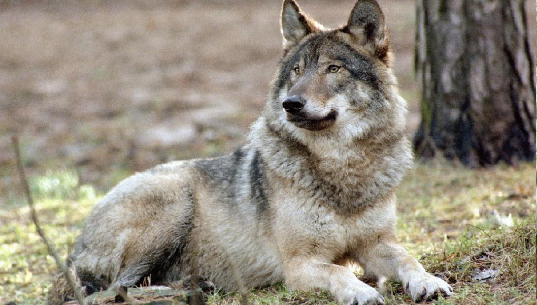 Animal of the year 2014 the grey wolf
