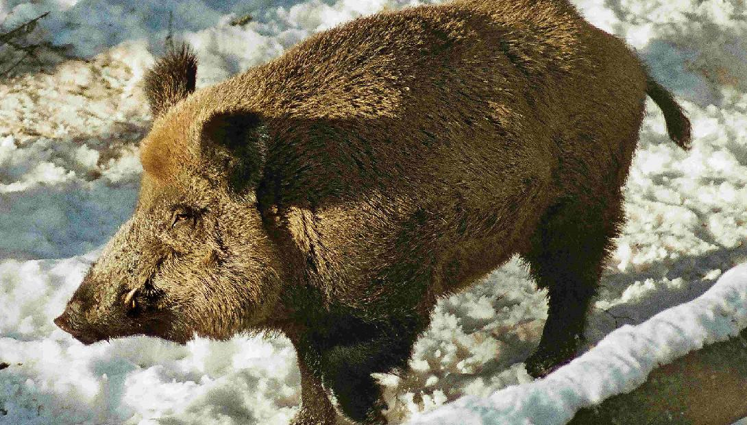 Animal of the year 2015 the wild boar