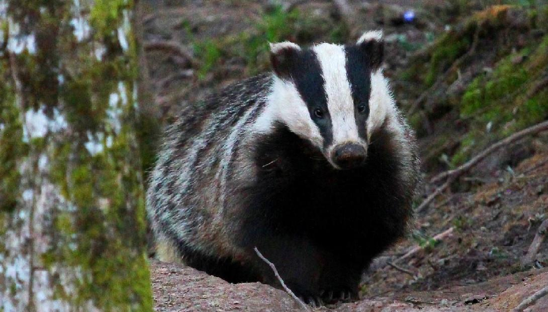 Animal of the year 2016 the European badger