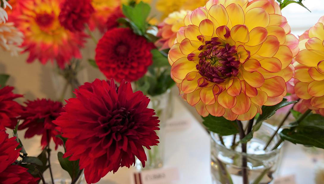 "Exhibition ""Dahlias 2019"""