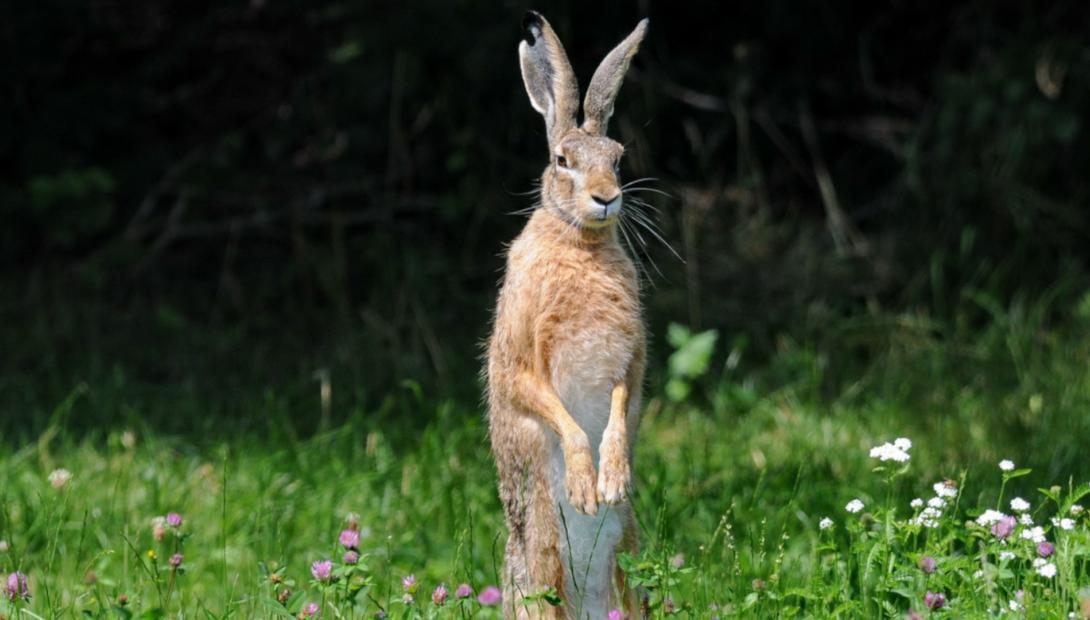 Animal of the year 2021 the European hare